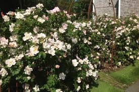 secrets to successful roses hgtv