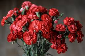 free stock photos of carnation pexels