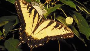 why did the eastern tiger swallowtail become south carolina s state
