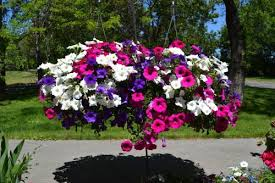 flower baskets hanging wave petunia flower baskets val s veggies