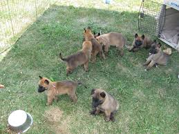 belgian sheepdog canada belgian shepherd dog laekenois puppies animals pinterest