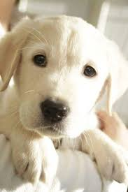 Training A Guide Dog For The Blind 42 Best Guide Dogs Images On Pinterest Guide Dog Service Dogs