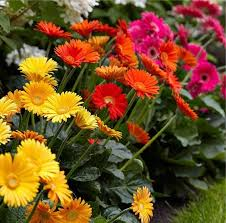 gerbera plant plants selection of three beautiful hardy gerberas with