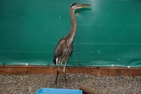 heron meaning heron meaning strange animal behaviour weasel attacks heron in