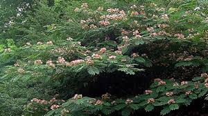 small trees in small gardens about the garden magazine mimosa u2013 the wonderful awful weed southern living