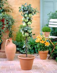 Potted Patio Trees by Potted Trees For Patio Privacy Icamblog