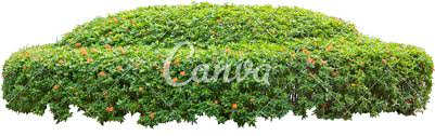 ornamental bush photos by canva