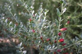 australian native shade plants australian native garden adelaide botanic gardens adelaide