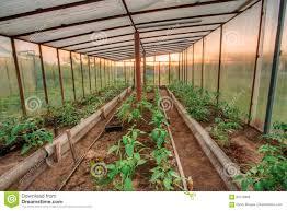 greenhouse for vegetable garden tomatoes vegetables growing in raised beds in vegetable garden