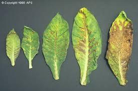 Tomato Plant Wilt Disease - tomato spotted wilt tospovirus on tobacco
