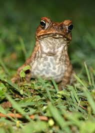 How To Get Rid Of Cane Toads In Backyard To Fight Croc Killing Toads Australians Turn To