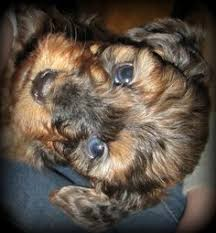 short haired dorkie mixes oh my gosh a dachshund mixed with a yorkie is called a dorkie and