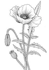 poppy clipart pencil drawing pencil and in color poppy clipart