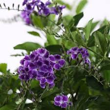 Shrub With Fragrant Purple Flowers - flowers for florida costa farms