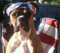 boxer dog gum problems 339 best boxers are the best images on pinterest boxer love