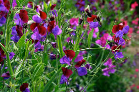 sweet peas flowers file sweetpeas flowers image jpg wikimedia commons