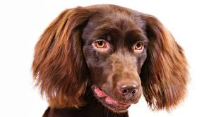 australian shepherd spaniel mix boykin spaniel dog breed information american kennel club