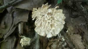 home the hoosier mushroom society