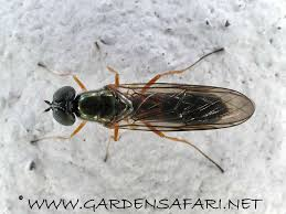 Tiny Black Flies In The House by Gardensafari Miscellaneous Flies With Many Detailed Pictures