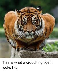 Tiger Meme - ゾ this is what a crouching tiger looks like meme on me me