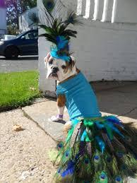 English Bulldog Halloween Costumes Dog Halloween Costume Contest Jiji Prestigious Peacock Dog