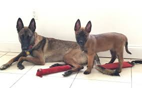 belgian shepherd how much belgian malinois archives malinois usa