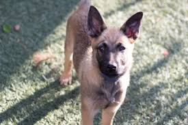 belgian malinois near me view ad belgian malinois puppy for sale california imperial