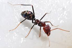ant simple english free encyclopedia