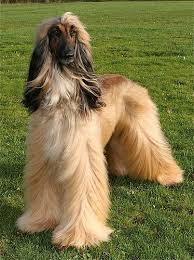 afghan hound top speed afghan hound afghan hound colors pictures page 1 4 afghan
