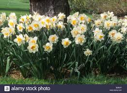 daffodil narcissus flower drift mixed daffodils in spring lawn