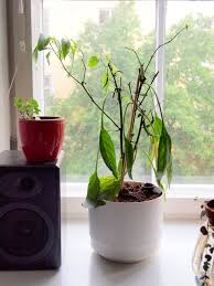 In House Plant Treating Repot Plant Stress U2013 Transplant Shock From Repotting