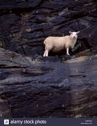 narrow picture ledge a sheep stuck on a narrow ledge on a cliff face stock photo