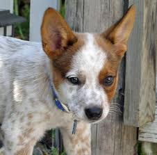 australian shepherd australian cattle dog mix 220 best australian cattle dog images on pinterest australian