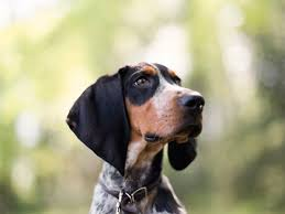bluetick coonhound pics 69 best coonhounds images on pinterest hound dog bluetick
