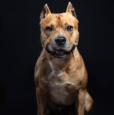 american pitbull terrier in uk jack russell tops cops u0027 list of dogs most likely to bite humans