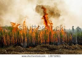sugar cane burning stock images royalty free images u0026 vectors