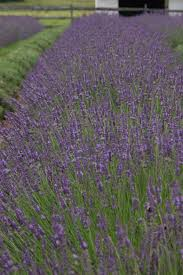Most Fragrant Lavender Plant Phenomenal Lavender Monrovia Phenomenal Lavender