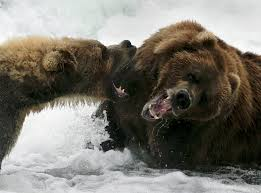 in katmai national park alaska up close with bears pursuing