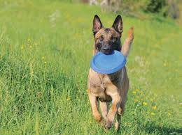 belgian malinois lifespan learn about the belgian malinois dog breed from a trusted veterinarian