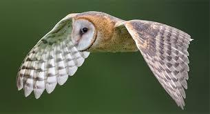 Scientific Name Of Barn Owl Tyto Alba Barn Owl