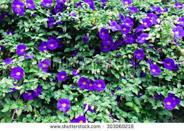 free butterfly pea flower medicinal herbs to treat disease and