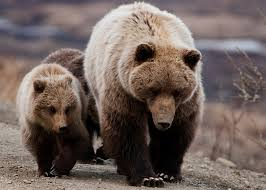 file grizzly bear sow and cubs 5728173840 jpg wikimedia commons