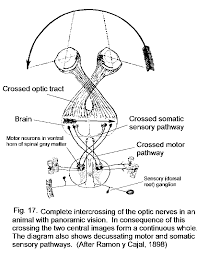 Cranial Nerves Worksheet Anatomical Foundations Of Neuroscience