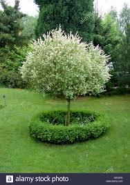 dappled willow stock photos dappled willow stock images alamy