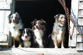circle c australian shepherds rusty kicks and giggles mini aussies
