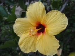 hawaii photos by jen yellow hibiscus big island u0027s state flower