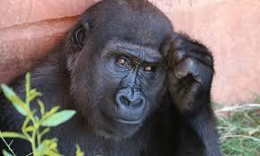 Gorilla Meme - meme alert this gorilla who gives hilarious ted talks