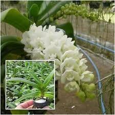 orchid plants thai orchid plants rhynchostylis gigantea 1 in pot kom x puek