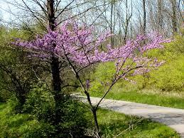 native oklahoma plants cercis canadensis wikipedia