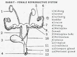 Anatomy Of Reproductive System Female Female Reproductive System Of Bird Rabbit Reptile Comparision